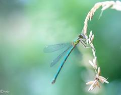 libelle bl gr licht-1 (surinamevakantiehuisje) Tags: libelle macro juffers