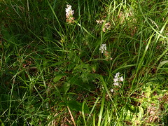 Dactylorhiza maculata - Orchis tacheté - Heath spotted-orchid or Moorland spotted orchid - 24/06/19 (Philippe_Boissel) Tags: dactylorhizamaculata orchistacheté heathspottedorchid moorlandspottedorchid dactylorhiza orchidaceae orchidales liliidae liliopsida magnoliophyta tracheobionta plantae plante fleur botany europe france occitanie lot saintprojet 3216 orchis