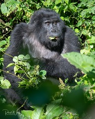 Silverback Enjoying a Snack (iamfisheye) Tags: africa 300mm bwindi nikon gorilla dx gorillaschimpsofugandaphototour mishayafamilygroup mountaingorilla silverback june2019 vr f4 imagesofwildlife greatape closestrelative afs uganda pf d500 adventurevacationsafaris