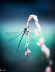 libelle bl aqua-1 (surinamevakantiehuisje) Tags: libelle juffer insect macro