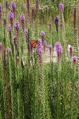 419A2753 (davekremitzki) Tags: lincoln memorial garden springfield illinois butterfly