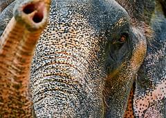 Gentle Giant | Hua Hin Thailand (Paul Tocatlian | Happy Planet) Tags: elephant thailand huahin