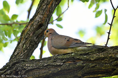 Mourning Dove (Geo Scouter) Tags: mourningdove harrisburg pennslvania wildwoodlake