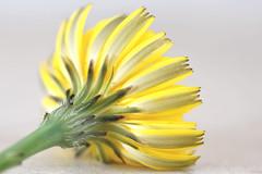 Dandelion (linda.addis) Tags: odc ourdailychallenge photographiclines macromondays patternsinnature