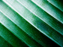 palm (m_laRs_k) Tags: patternsinnature macro palm nature pattern diagonal green luisenpark mannheim germany macromondays mlarsk