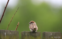 Juvenille sparrow (mootzie) Tags: sparrow juvenille nature wildlife cute fence garden scotland