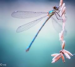 libelle bl touw-1 (surinamevakantiehuisje) Tags: libelle juffer insect macro