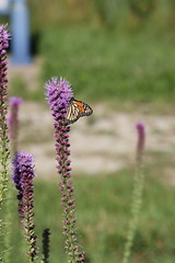 419A2761 (davekremitzki) Tags: lincoln memorial garden springfield illinois butterfly