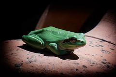 Laubfrosch (KN-Lichtspiel) Tags: frosch frösche laubfrosch