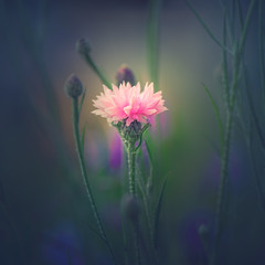wildflower (Dhina A) Tags: sony a7rii ilce7rm2 a7r2 a7r jupiter 135mm f35 jupiter37a135mmf35 12blades 37a prime m42 jupiter37a flower bokeh summer