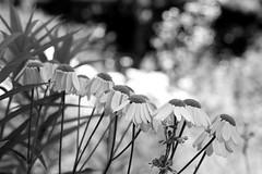 Daisies (Peter_Cameron) Tags: fujixe3 fujinonxf50mmf2rwr