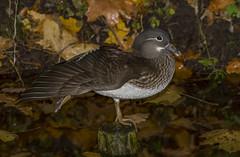 mandarin duck (madziulka_a) Tags: mandarinduck poland nikon d850 nikkor 200500mm wildlife duck bird nature photography