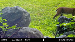 Back of the Cat (blazer8696) Tags: 2019 animalia bigtreerock brookfield ct chordata connecticut ecw felidae lynx lynxrufus mammalia obtusehill stc4823 t2019 usa unitedstates animal bobcat camera carnivora carnivoran cat chordate game mammal rufus trail trap