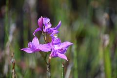Grass Pink (pchgorman) Tags: grasspink calopogontuberosus taxonomy:binomial=calopogontuberosus calopogon orchidaceae ridgessanctuary baileysharbor doorcounty wisconsin july flowers beaches