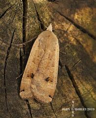 Lesser Yellow Underwing Moth (John Chorley) Tags: macro macros moth lesseryellowunderwingmoth nature closeup johnchorley yellow 2019 springwatch