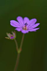 Small Geranium (pstenzel71) Tags: blumen natur pflanzen storchschnabel geranium geranie darktable flower bokeh