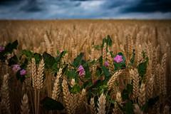 Fleurs des champs (Janine en Ron) Tags: flower flowers bloem bloemen graan dramatic sky