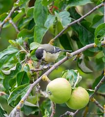 R71_2454 (53Ruth) Tags: nikond7100 tamron150600 vogel garten natur baum blatt grün