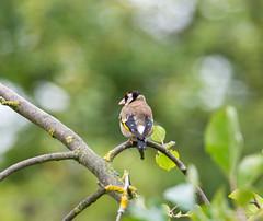R71_2435 (53Ruth) Tags: nikond7100 tamron150600 vogel garten natur baum blatt grün