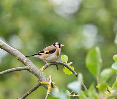R71_2434 (53Ruth) Tags: nikond7100 tamron150600 vogel garten natur baum blatt grün