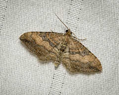 1927 (wdsb) Tags: moth insect