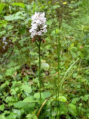 Dactylorhiza maculata - Orchis tacheté - Heath spotted-orchid or Moorland spotted orchid - 23/06/19 (Philippe_Boissel) Tags: dactylorhizamaculata orchistacheté heathspottedorchid moorlandspottedorchid orchis dactylorhiza orchidaceae orchidales liliidae liliopsida magnoliophyta tracheobionta plantae plante any europe france occitanie saintprojet 2797k