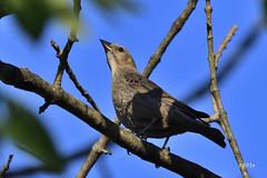 Brown-headed Cowbird (jt893x) Tags: 150600mm bird blackbird brownheadedcowbird cowbird d500 female jt893x molothrusater nikon nikond500 sigma sigma150600mmf563dgoshsms coth alittlebeauty thesunshinegroup coth5