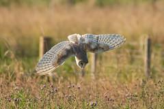 Barn Owl (robin elliott photography) Tags: barnowl barnowls owl owls nature wild wildlife flight