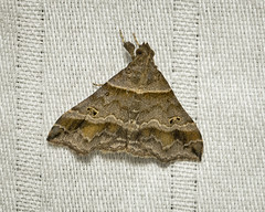 1928 (wdsb) Tags: moth insect