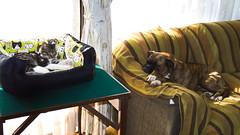 Clara y Dora: cuatro meses después. (Andres Bertens) Tags: 9114 olympusem10markii olympusomdem10markii olympusm25mmf18 olympusmzuikodigital25mmf18 rawtherapee pet dog cat