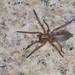 Spider (Clubiona sp) - Aranha
