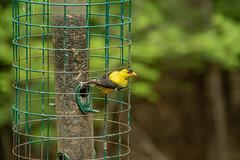 goldfinch (2) (tommaync) Tags: animal bird wildlife nature chathamcounty chatham nc northcarolina july 2018 nikon d7500 goldfinch finch yellow black birdfeeder feeder