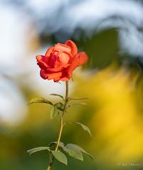 R75_8015 (53Ruth) Tags: nikond750 tamron70200mm blumen blüten blatt garten natur