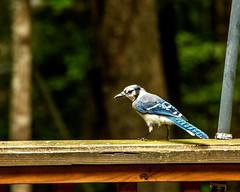 Blue Jay (3) (tommaync) Tags: animal bird wildlife nature chathamcounty chatham nc northcarolina july 2018 nikon d7500 jay bluejay blue feathers