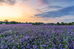 Echium Sunset (jactoll) Tags: wixford warwickshire sunset echium summer field crops landscape light flowers sony sony2470mmf28gm a7iii jactoll