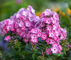 R75_8012 (53Ruth) Tags: nikond750 tamron70200mm blumen blüten blatt garten natur