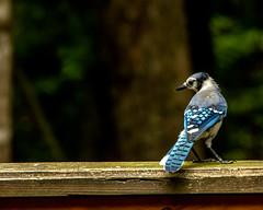 Blue Jay (2) (tommaync) Tags: animal bird wildlife nature chathamcounty chatham nc northcarolina july 2018 nikon d7500 jay bluejay blue feathers
