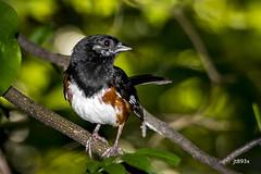 Eastern Towhee (jt893x) Tags: 150600mm bird d500 easterntowhee jt893x male nikon nikond500 pipiloerythrophthalmus sigma sigma150600mmf563dgoshsms songbird sparrow towhee thesunshinegroup alittlebeauty coth coth5