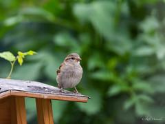 R71_2447 (53Ruth) Tags: nikond7100 tamron150600 vogel garten natur baum blatt grün