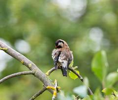 R71_2437 (53Ruth) Tags: nikond7100 tamron150600 vogel garten natur baum blatt grün