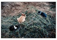 (schlomo jawotnik) Tags: 2019 juni kleinflöthe schlomostierwelt kaninchen gras futter futterstelle analog kodakproimage100 film usw