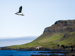 Puffin in flight mode. (Arno_vdb) Tags: bird sea puffin iceland flight fly shore travel nature canon 80d ngc colours focus