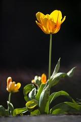 Shining in the sunlight ☀️ (Martin Bärtges) Tags: flowers orange plants sun sunlight green sunshine yellow outside spring nikon colorful outdoor blossoms pflanzen gelb d750 sonne sonnenstrahlen blum frühling tulpen blüten sonnenschein blühen frühjahr farbenfroh drausen farbtupfer nikonphotography nikonfotografie tulpenzeit tulips
