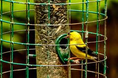 goldfinch (tommaync) Tags: animal bird wildlife nature chathamcounty chatham nc northcarolina july 2018 nikon d7500 goldfinch finch yellow black birdfeeder feeder