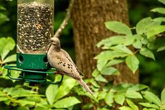 dove (tommaync) Tags: animal bird wildlife nature chathamcounty chatham nc northcarolina july 2018 nikon d7500 dove brown feathers feeder birdfeeder