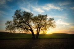 Palouse Split Tree Sunset (ernogy) Tags: palouse tree erno ernogy sunset landscape washington nature outdoors hills