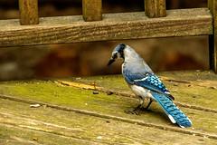 Blue Jay (1) (tommaync) Tags: animal bird wildlife nature chathamcounty chatham nc northcarolina july 2018 nikon d7500 jay bluejay blue feathers