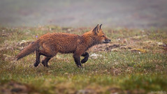 Fox Kit (Melissa M McCarthy) Tags: red fox kit young baby animal nature outdoor wildlife wild walking cute weather spring rain drizzle fog rdf wet fur barrens avalonpeninsula newfoundland canada canon7dmarkii canon100400isii