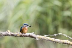 Photo de profile -  Profile Photo (bboozoo) Tags: oiseau bird martinpêcheur kingfisher nature animal wildlife canon6dmarkii tamron150600 branche branch profondeurdechamp bokeh