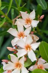R75_8057 (53Ruth) Tags: nikond750 blumen blüten blatt garten natur